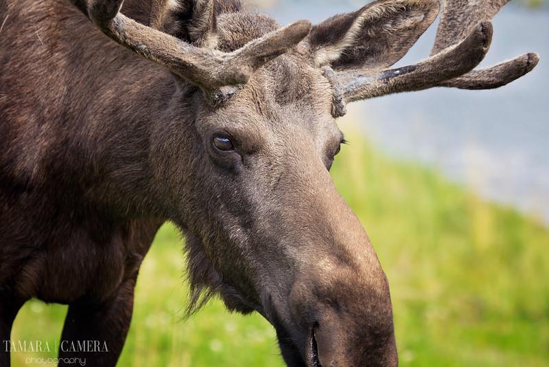 Moose4-5-2.jpg