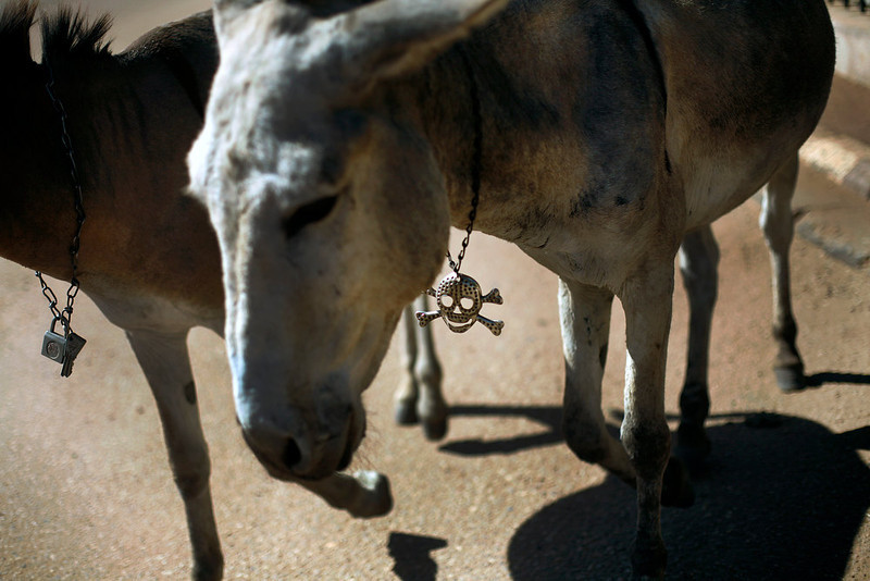 . A Malian donkey sports a skull chain as it walks in Gao, northern Mali, Thursday, Feb. 7, 2013. French troops began to withdraw from Timbuktu Thursday after securing the fabled city as they ramped up their mission in another northern Mali city, searching for Islamic extremists who may be mixing among the local population. (AP Photo/Jerome Delay)