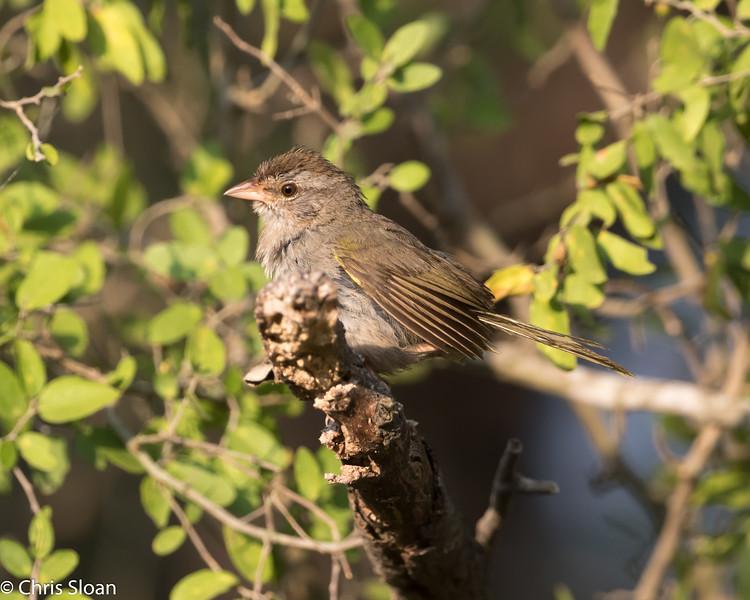 Olive Sparrow at Salineño, TX (07-26-2015) 081-76.jpg