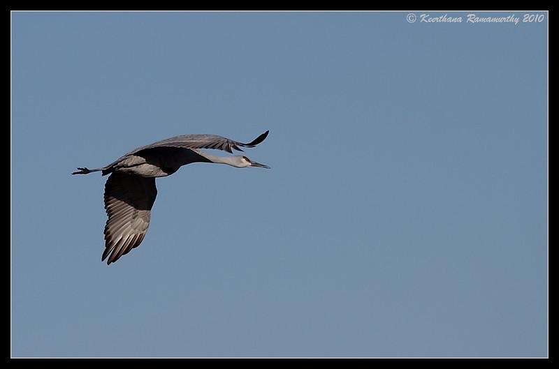 Sandhill Crane in flight, Bosque Del Apache, Socorro, New Mexico, November 2010