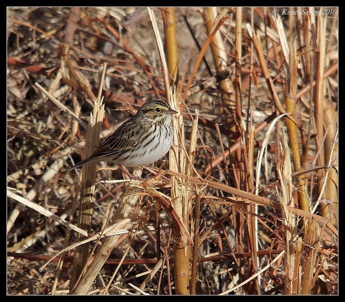 Savannah Sparrow, Bosque Del Apache, Socorro, New Mexico, November 2010