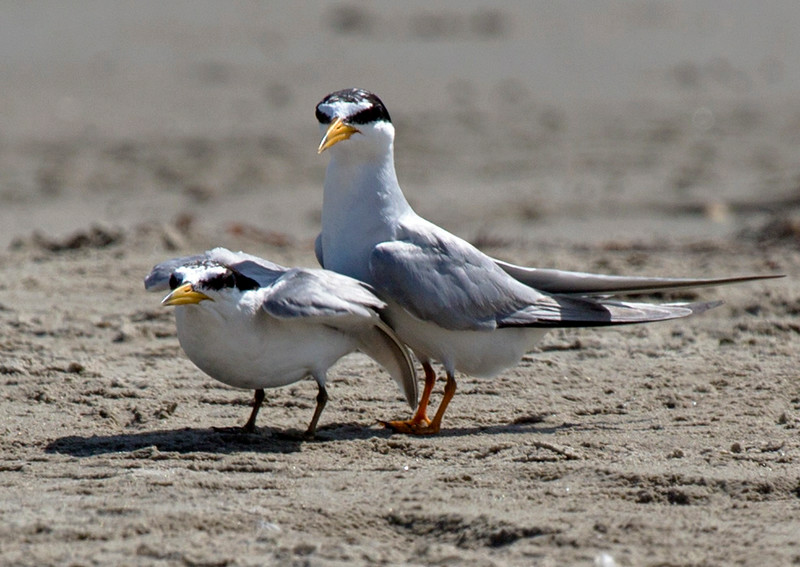 Least Terns -- mother and juvenile?
