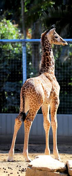 IMG_3423 Giraffe Sugarbutt 600MM 1.04.2018 Vivid.jpg
