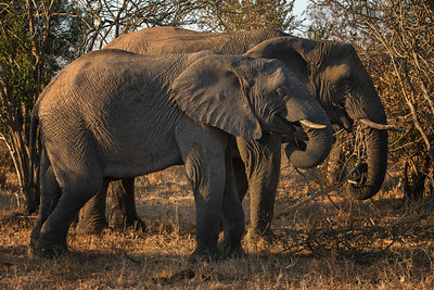 Ultimate Africa - Thornybush - Aug. 2014