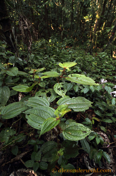 Clidemia bush growing in an Amazonian devil's garden. The garden is caused by symbiotic Myrmelachista ants that inject formic acid into the saplings of competing plants, killing them.  Jatun Sacha reserve, Napo, Ecuador