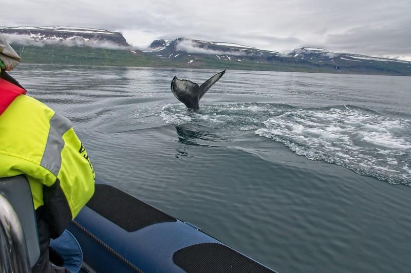 whale isafjordur 3 copy6.jpg