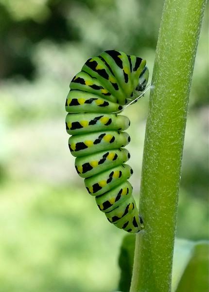 black-swallowtail-caterpillar-1.jpg