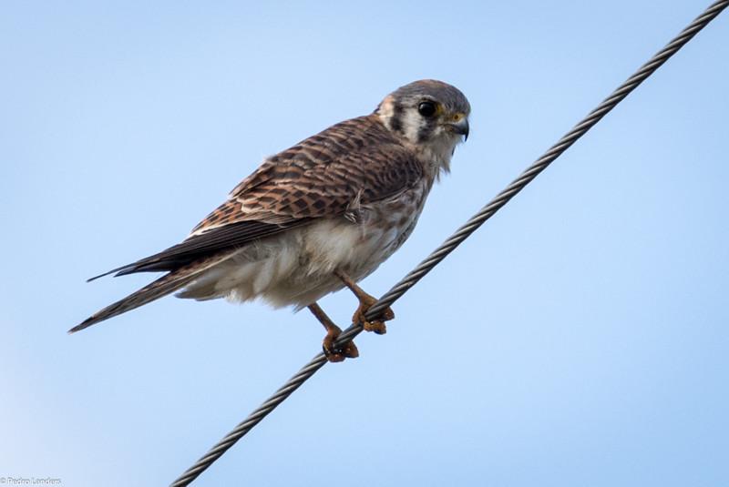 Prairie Falcon ? 1