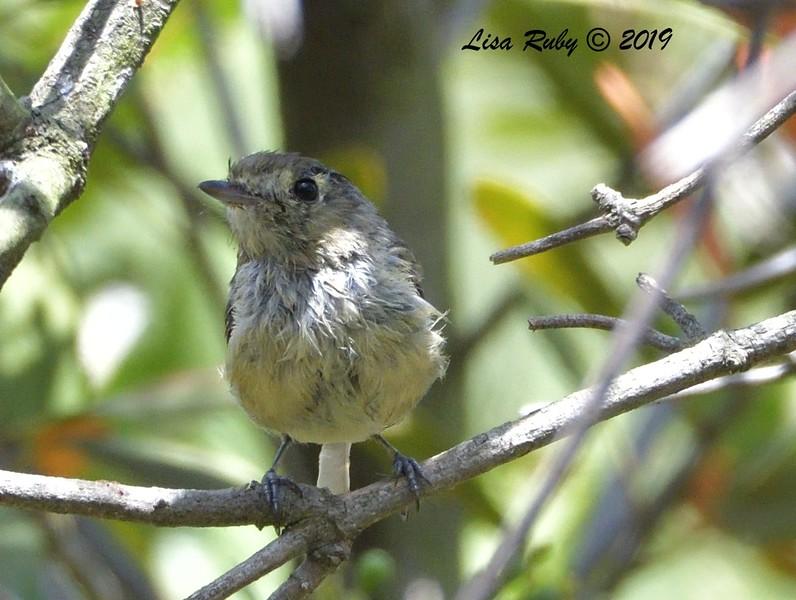 Hutton's Vireo  - 7/28/2019 - Bird & Butterfly Garden