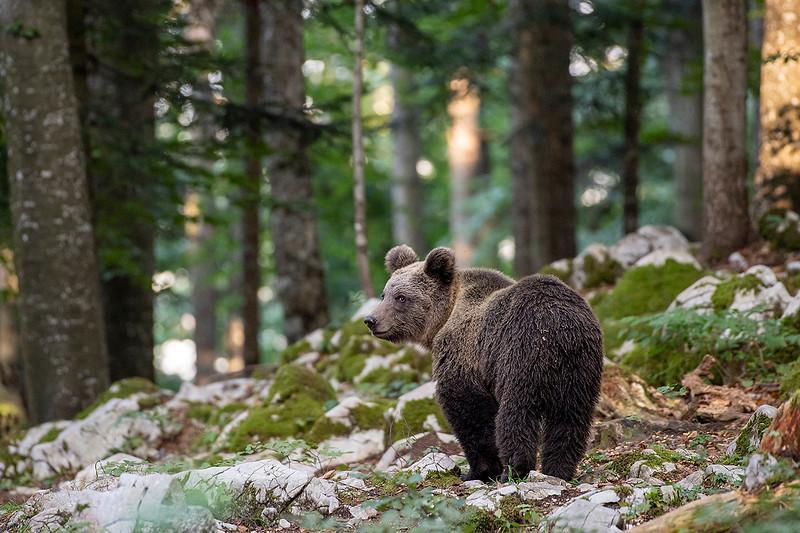Braunbär in Slowenien.jpg