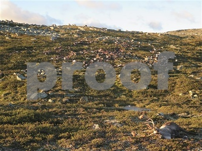 lightning-strike-kills-more-than-300-reindeer-in-norway
