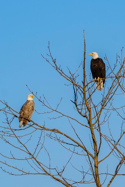 Blonde Eagle.jpg