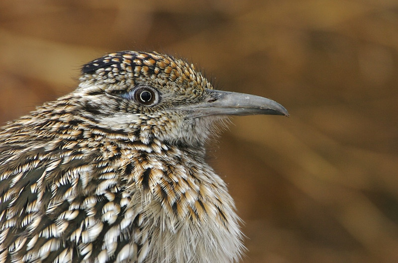 Road Runner Portrait