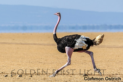 Ostrich, Rhea & Screamer