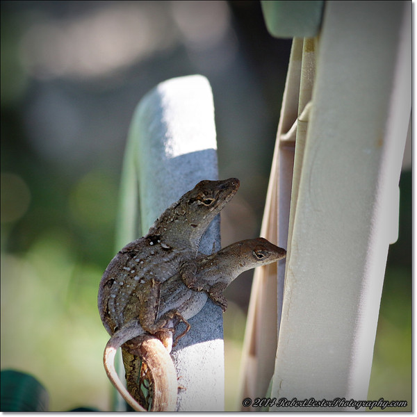 2014-06-06_IMG_0848__Anole Lizard,Clearwater,Fl..JPG