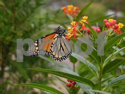 how-to-attract-different-butterflies-to-your-own-home-garden
