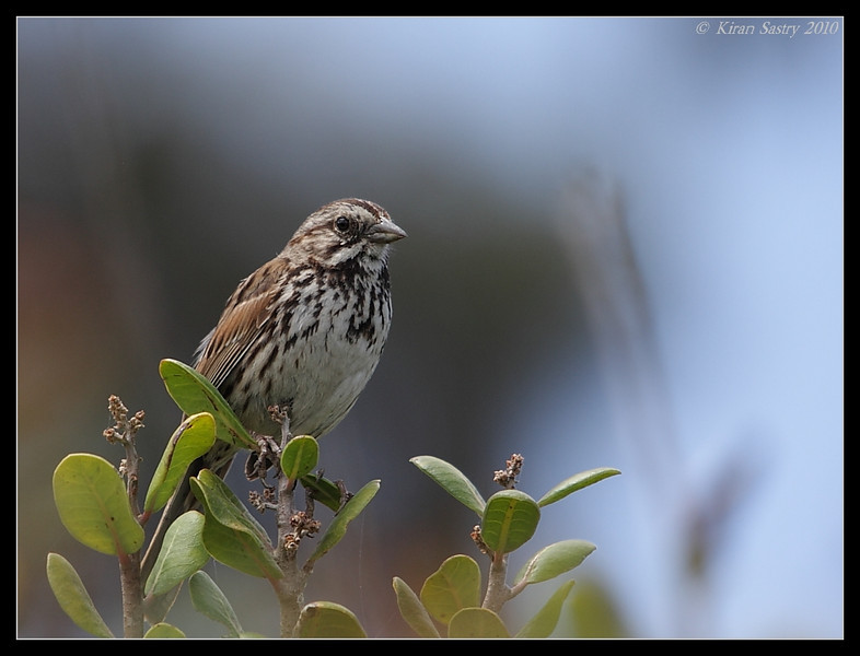 Song Sparrow, La Jolla Cove, San Diego County, California, May 2010