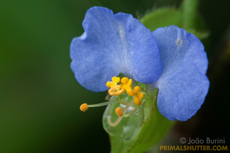 Blue flower of Commelina obliqua, in Intervales State Park, Brazil. South-east atlantic forest reserve, UNESCO World Heritage Site.