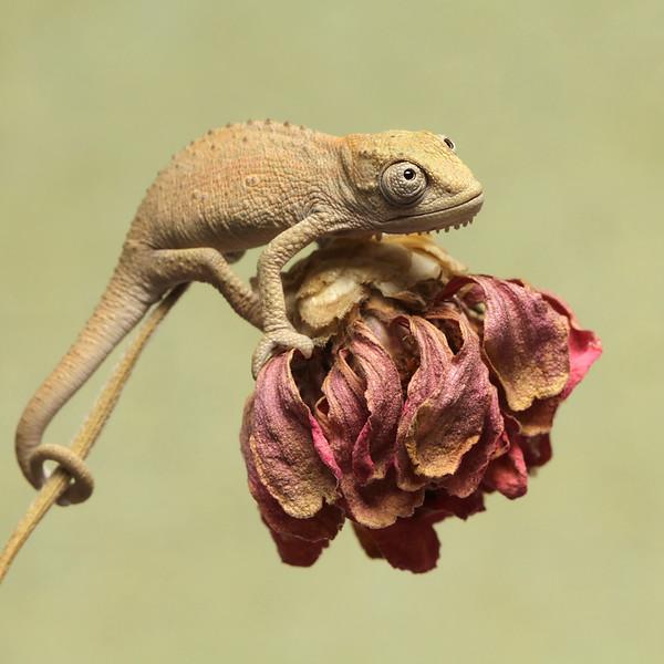 Baby Thamnobates Chameleon.jpg