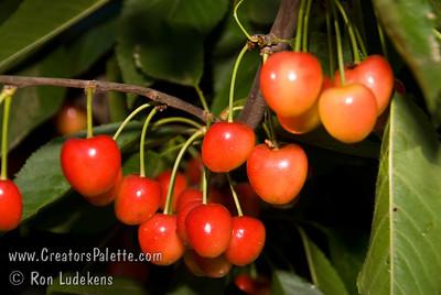 Royal Ann Cherry (Napoleon Cherry) - Prunus avium sp.