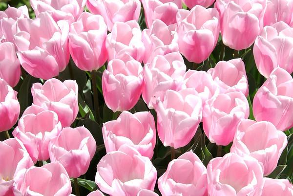 Tulips - All kinds-Tulipa-Tulip Mania