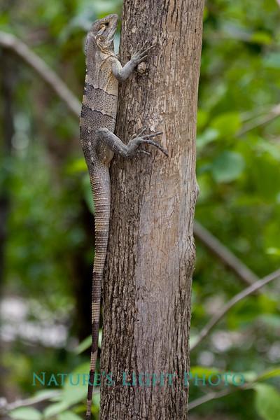 Ctenosaur, Palo Verde NP, Costa Rica-0450