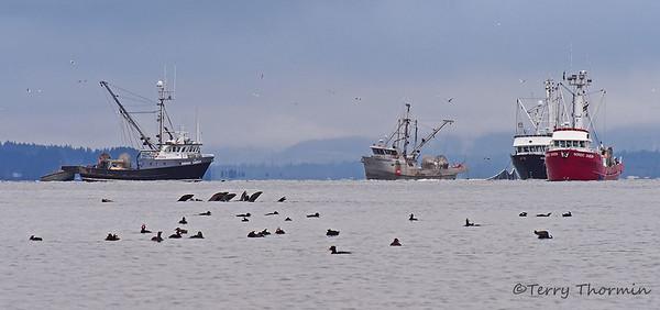 Herring Spawn Vancouver Island