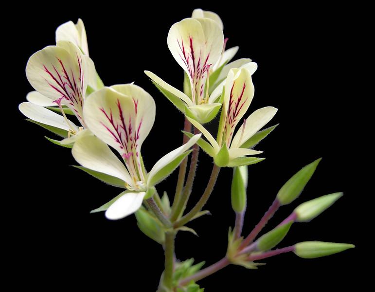 Pelargonium oblongatum flowers