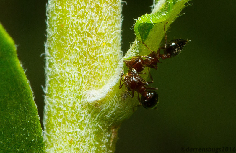 A pair of acrobat ants (Crematogaster sp.) feed on extrafloral nectaries in Iowa. Some plants produce these little packets of nutrients as part of their defensive strategy - ants who feed on them will defend the plant for the renewable resource they provide.