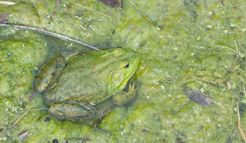 American bullfrog, Lithobates catesbeianus (Iowa).