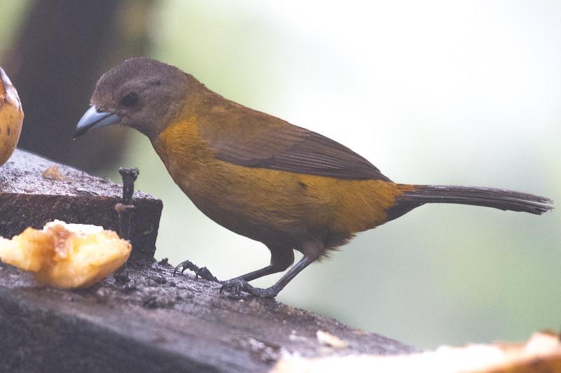 19-Sept Costa Rica Birds-1943.JPG