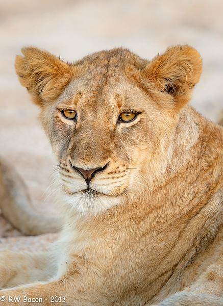 Regal Lioness