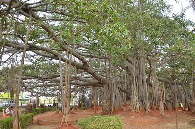 Dodda Alada Mara - Big Banyan Tree - Bangalore