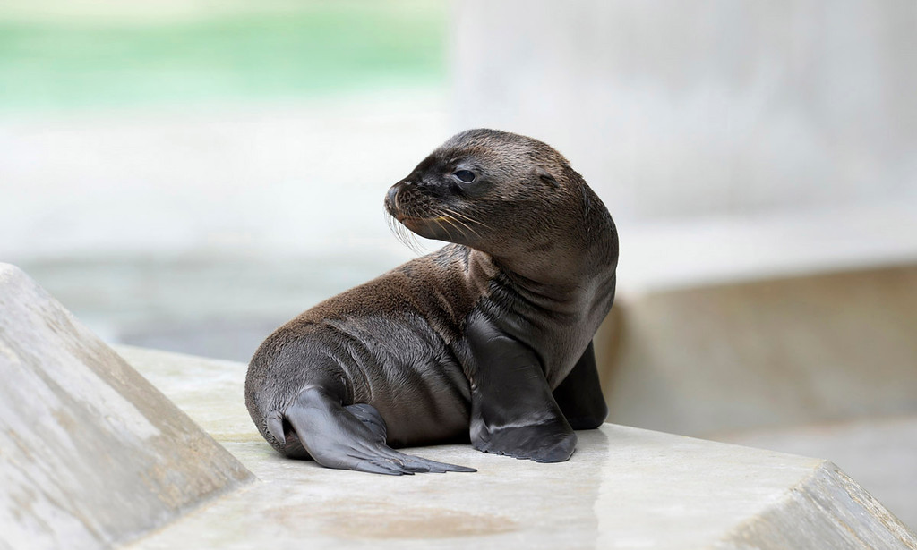 . A month-old sea lion sits at the zoo in Munich, southern Germany on June 21, 2013.  AFP PHOTO / CHRISTOF STACHE