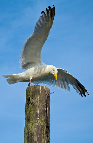 Seagull in the process of landing on wooden pillar. Photography fine art photo prints print photos photograph photographs image images artwork.