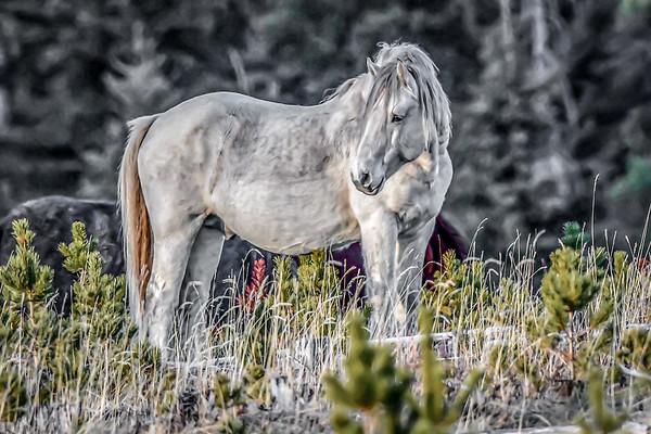 1 Alberta Wild Horses 2021
