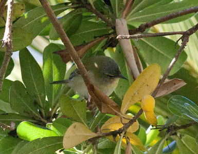 Tennessee Warbler Oreothlypis peregrina