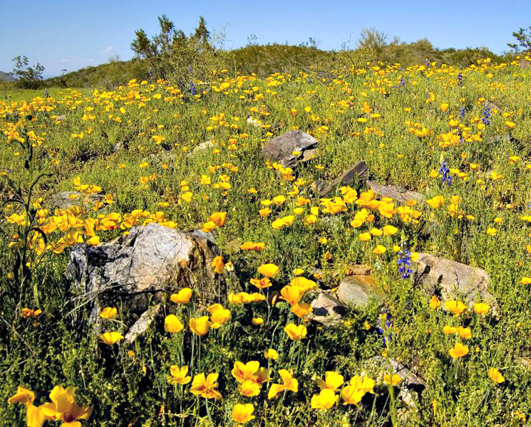 Wildflowers in the Phoenix Mountains.