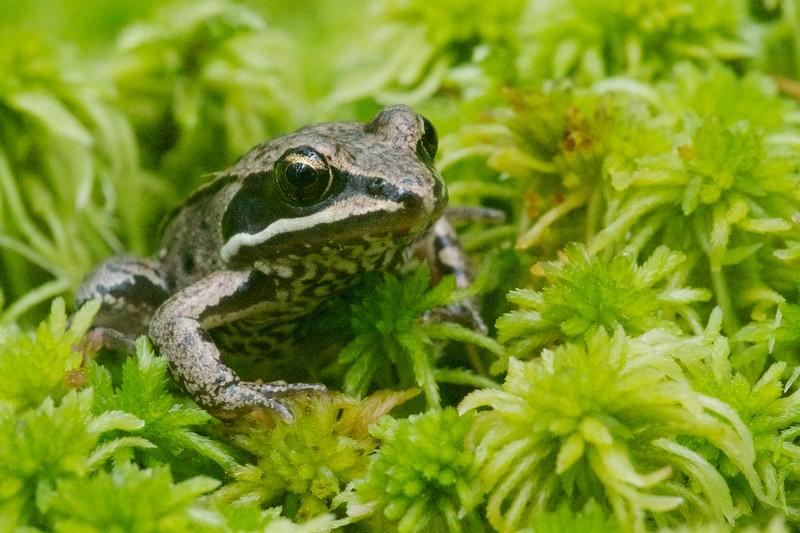 Wood Frog Rana sylvatica Sax-Zim Bog MN IMG_0027287.jpg