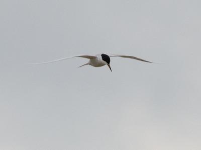 2011-0416 Common Tern