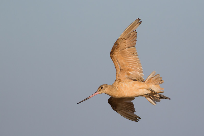 Marbled Godwit - Foster City, CA, USA