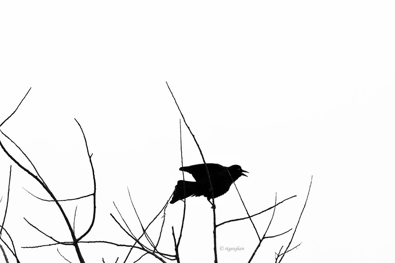 March 22_Calling Bird Silhouette_0812B.jpg