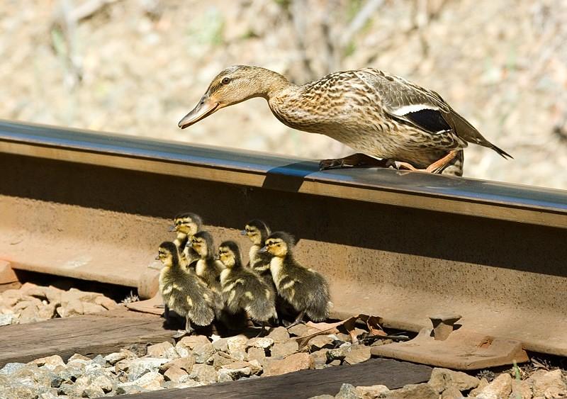quackers-on-the-tracks_156503137_o.jpg