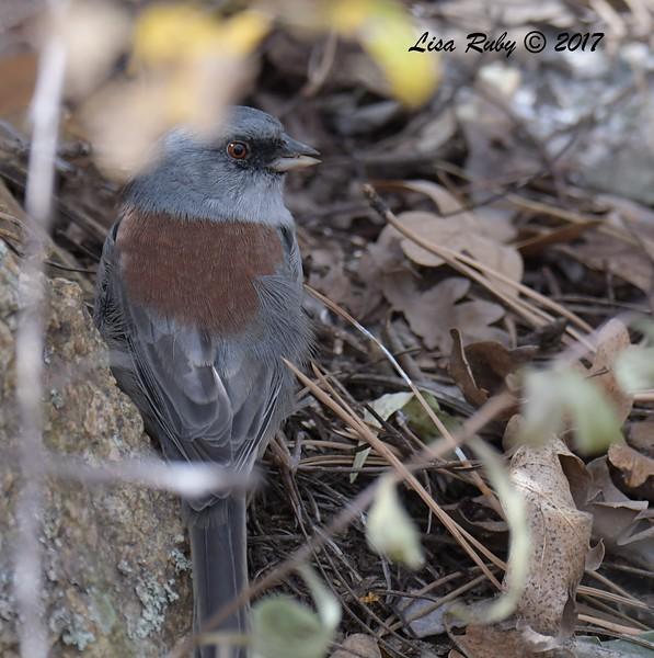 Dark-eyed Junco (Red-backed) - 10/18/2017 - Aspen Creek Trail, Prescott, AZ