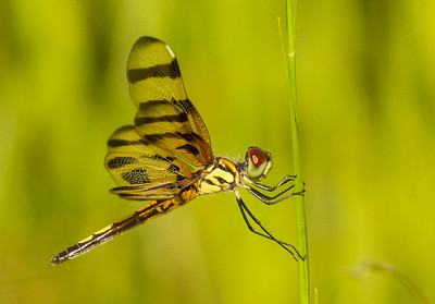 Dragonflies and Damselflies (Odonata)
