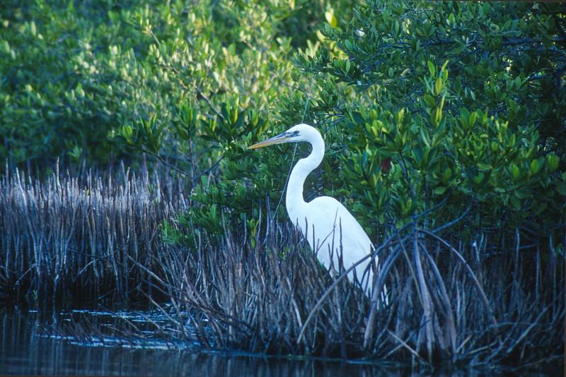 Great Blue Heron color morph Great White Heron Long Key State Park Florida Keys FL SLIDE SCAN BIRDS-55.jpg