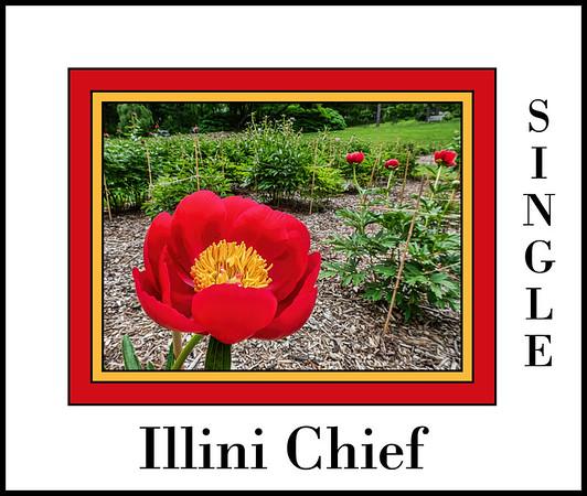 Illini Chief (Bed 13), Albiflora x officinalis