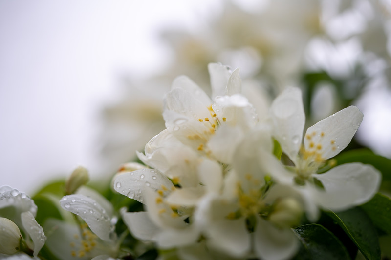 water drops after a spring rain on crabapple blossoms
