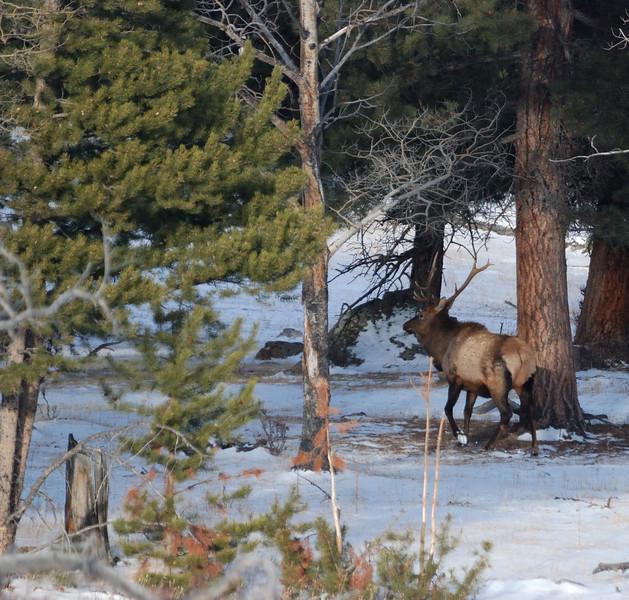 Bull Elk RMNP 12062008.jpg