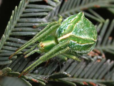 Unplaced Araneidae